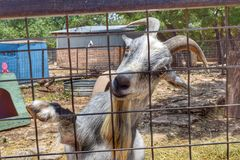 Billy goat at the Austin zoo sanctuary. Beautiful reptile reptiles spotted patterns zoo Austin Texas nature wildlife horns mammal animal animals farm farm Stock Photos