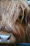 Bully hairstyle. Scottish highland bull showing his hairstyle royalty free stock photo