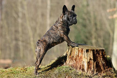 Bully and tree trunk. Young french bulldog standing at a tree trunk Royalty Free Stock Images
