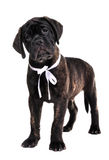 Bulmastiff Puppy Stock Photography