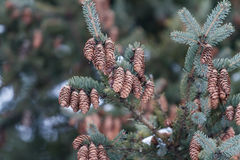 Bulor på en grön julgran Royaltyfri Bild