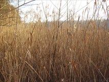 Bulrush και ήλιος Στοκ εικόνες με δικαίωμα ελεύθερης χρήσης