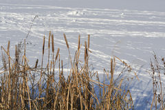 Bulrush ποταμών Στοκ φωτογραφία με δικαίωμα ελεύθερης χρήσης