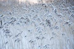 Bulrush που καλύπτεται στο χιόνι στο χειμώνα Στοκ φωτογραφίες με δικαίωμα ελεύθερης χρήσης