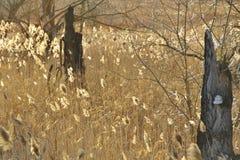 Bulrush Брайна и суки дерева с polypore на заходе солнца Стоковые Фотографии RF