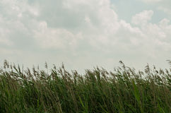 Bulrush и небо Стоковое Фото