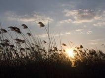 Bulrush на заходе солнца Стоковое Фото