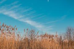 Bulrush на небе предпосылки стоковое изображение