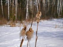 Bulrush с семенами Стоковая Фотография