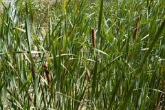 Bulrush, тростник, cattail, панки, трава собаки мозоли, или сосиска воды, cattail стоковое фото