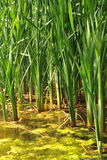 Bulrush. Spring green bulrush in water Stock Photos