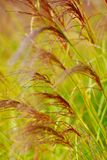 Bulrush Royalty Free Stock Photo