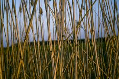Bulrush. Sticks in morning light, blue sky and horizon in background Stock Photos