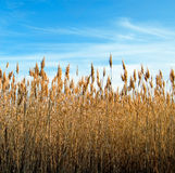 The bulrush. On background sky Royalty Free Stock Image