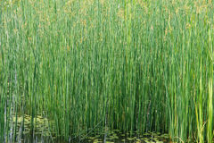 Bulrush Royalty Free Stock Images