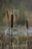 Bulrush. Lonesome bulrush in the middle of nowhere stock photography