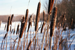 Bulrush. Around frozen lake near river vah Stock Images