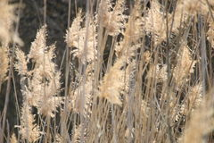 Bulrush as a background Royalty Free Stock Photos
