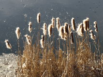 Bulrush in autumn stock photography