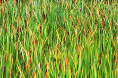 Bulrush background abstract Stock Photo