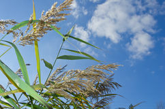Bulrush on background of cloudy sky Royalty Free Stock Images