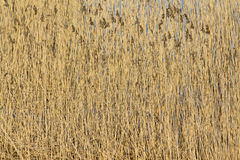 Bulrush background Royalty Free Stock Image