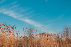 Bulrush on background sky. Reed in winter against the sky stock image