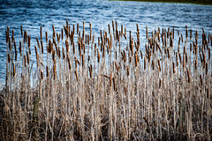 Bulrush bed. Stand of bulrush Typha latifolia and the fringes of a freshwater body in winter Stock Image