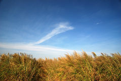 Bulrush and blue sky. The bulrush under the blue sky in autumn Royalty Free Stock Photos