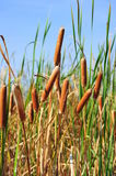 Bulrush / cat tail / reed mace Royalty Free Stock Photography