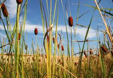 Bulrush_3 Royalty Free Stock Image