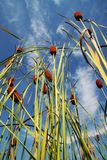 Bulrush_2 Stock Photo
