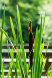 Bulrush Stock Image