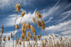 Bulrush clouds sky Royalty Free Stock Photography