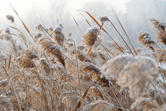 Bulrush in the cold wind. There are many bulrush on a lake.The weather is very cold in the winter.After a snow,some snowflake droped on the bulrush Royalty Free Stock Images