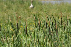 Bulrush or common cattail or great reedmace or cooper`s reed or cumbungi Stock Photo