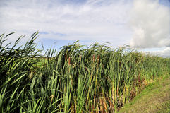 Bulrush in the ditch Royalty Free Stock Photography