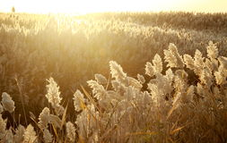 Bulrush field on the water shore Royalty Free Stock Photos