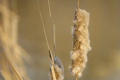 Bulrush fruit Stock Photography