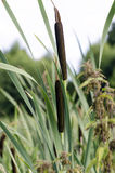 Bulrush Royalty Free Stock Photos