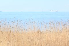 Bulrush on the gulf of Finland. Ship on the skyline. View-5. Royalty Free Stock Image