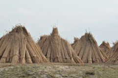 Bulrush harvest. Bulrush being harvest in the Danube Delta for producing cellulose or for roof construction of eco houses royalty free stock photography