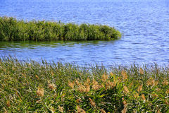 Bulrush and lake in summer Royalty Free Stock Photography