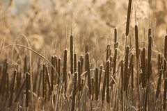 Bulrush on the lakeside Royalty Free Stock Photography