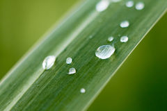 Bulrush leaf with water drops. Closeup shot Stock Photos
