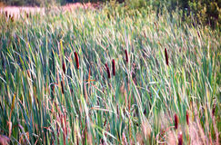 Bulrush in marsh Stock Photo