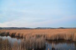 Bulrush in marsh Royalty Free Stock Photo