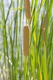 Bulrush in nature Royalty Free Stock Image