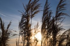 Bulrush On Background Sunset In Winter Stock Photos