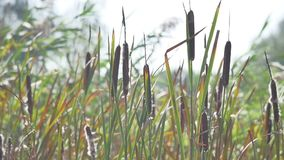 Bulrush plant on an autumnl lakeside.  stock video footage